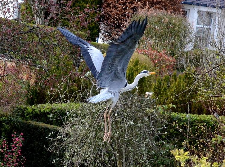 heron in the air