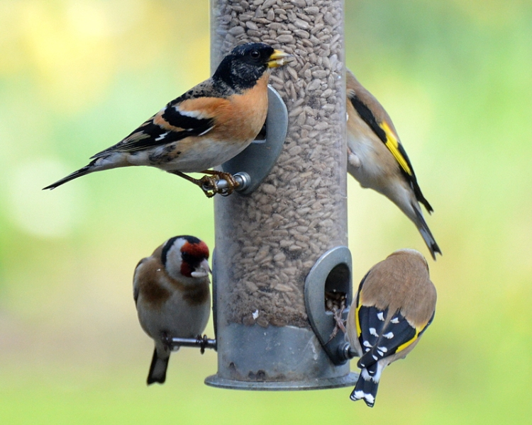 Brambling and goldfinches