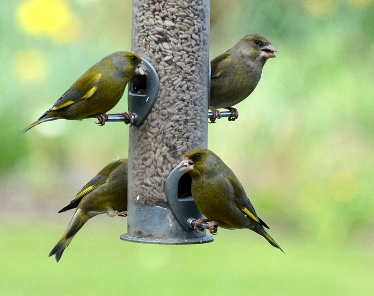 four greenfinches