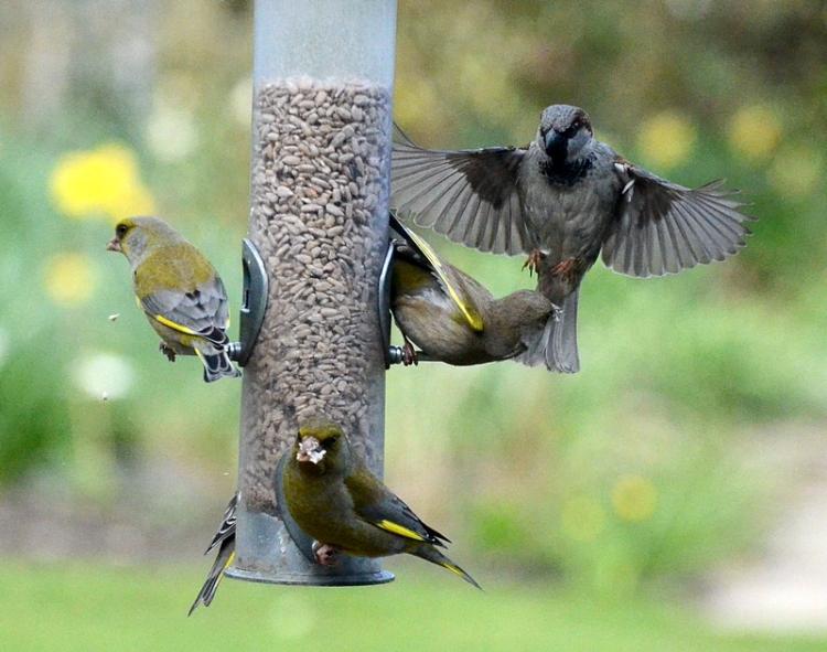 threatening sparrow