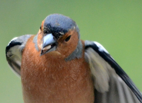 chaffinch heading this way