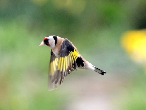 goldfinch flying wings down