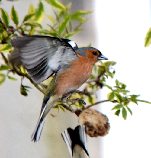 a flying chaffinch