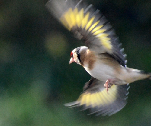 goldfinch wheeling