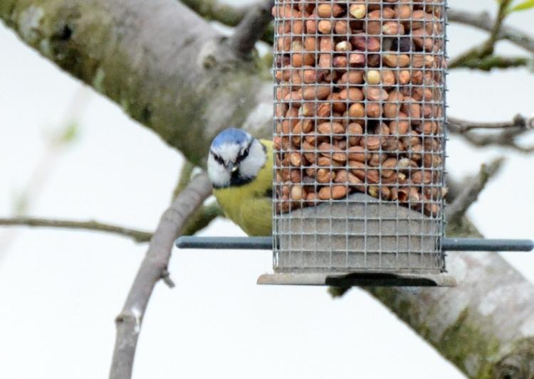 blue tit facing front