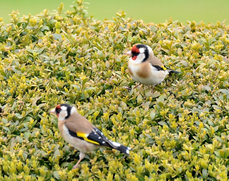 goldfinches having a ball