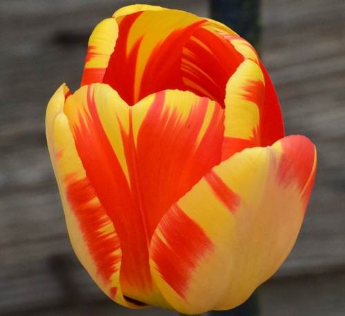 colourful  tulip