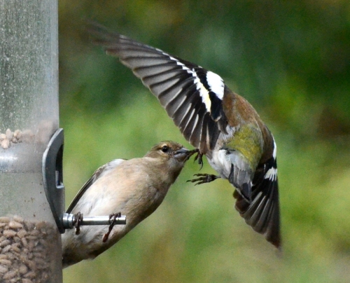 chaffinches exchanging words