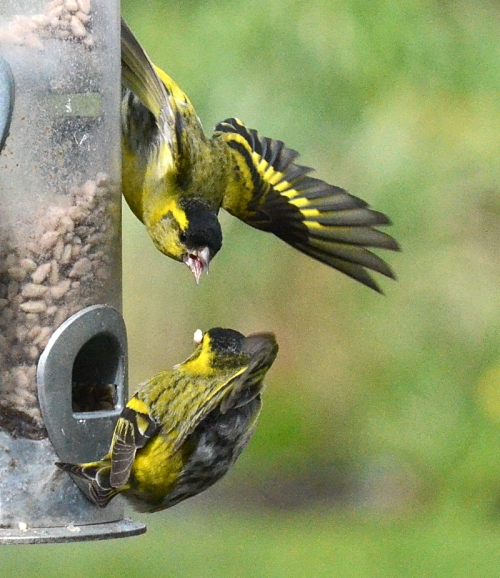 siskins exchanging words