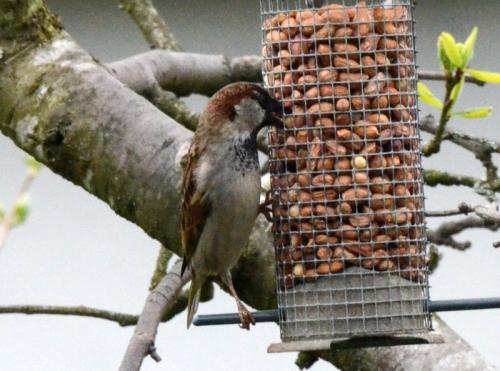sparrow nibbling nuts