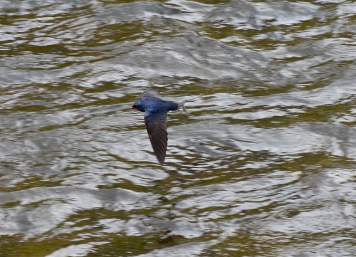 swallow on Esk