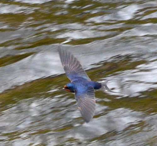 Swallow on Esk 2