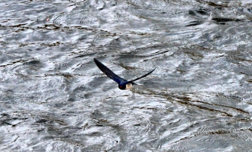 Swallow on Esk 3