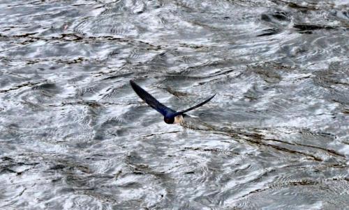 Swallow on Esk 3