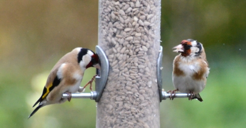 wet and dry goldfinches