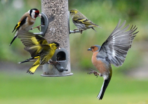 siskin shouting at a chaffinch