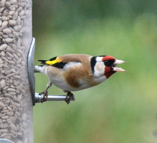 goldfinch shout