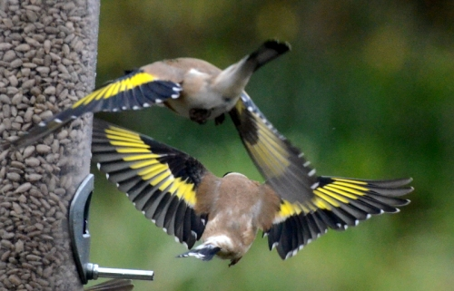 goldfinch aerobatics