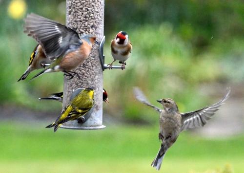 goldfinch sneering.