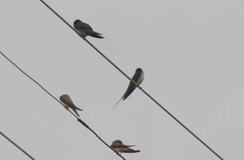 swallows beside the Esk