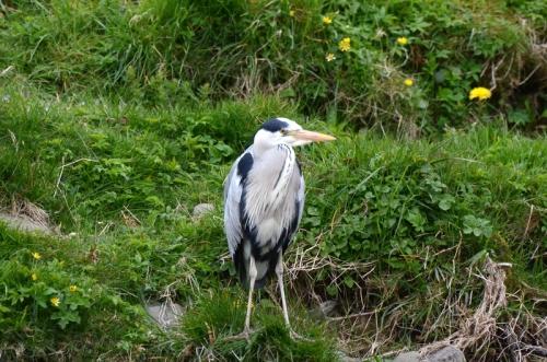 heron at Kilngreen