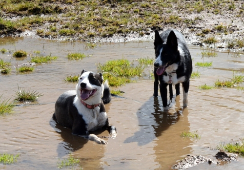 dogs in puddle