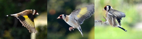 goldfinches flying