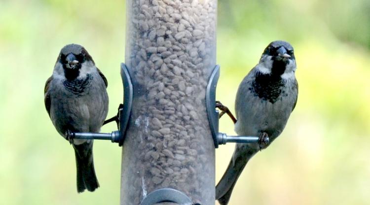 twin sparrows