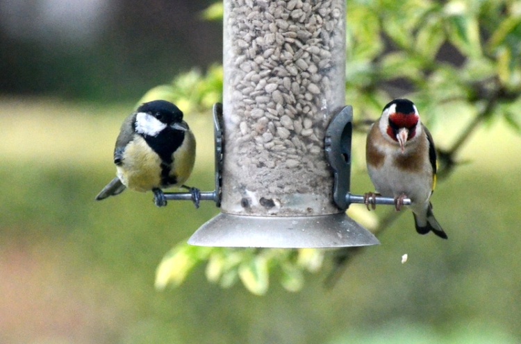 great tit and goldfinch