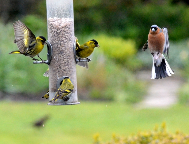 chaffinch in waiting
