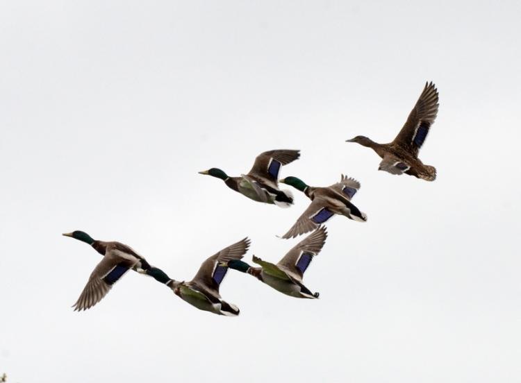six ducks