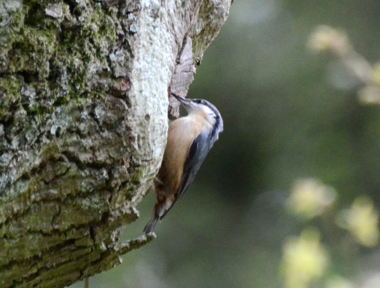 nuthatch at nest