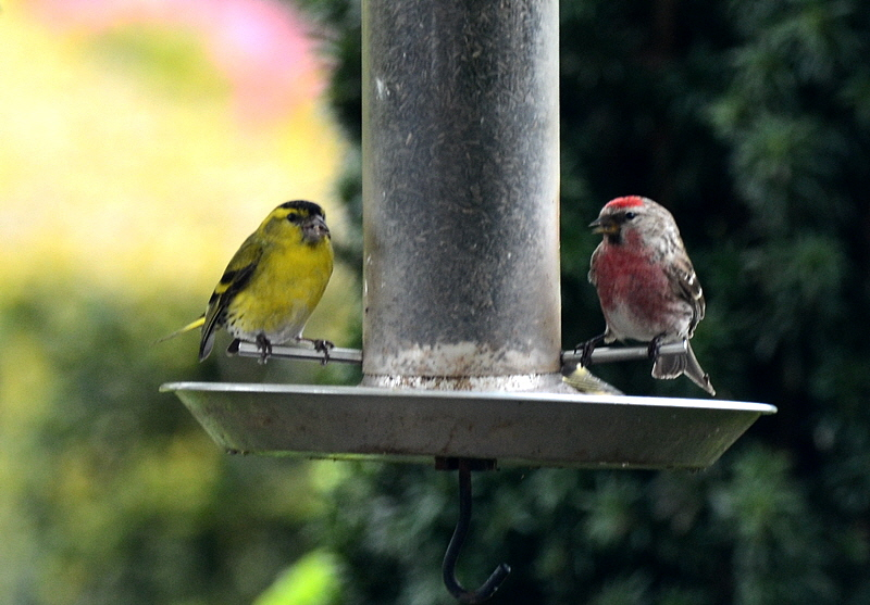 redpoll and siskin