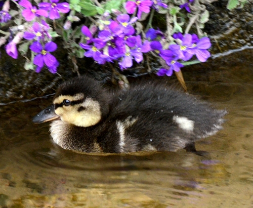 duckling with aubretia