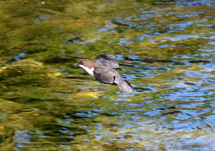 flying dipper