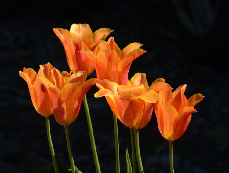 ballerina tulips