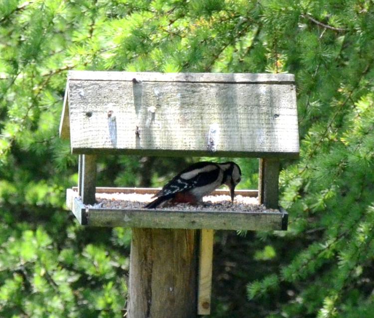 woodpecker in feeder hut