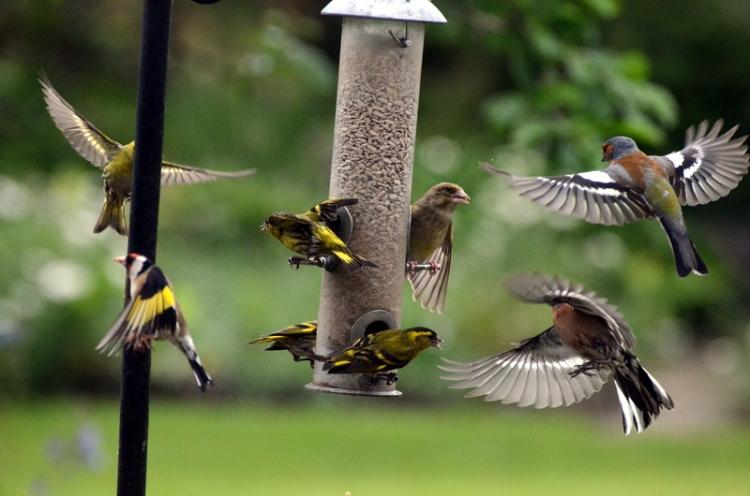 chaffinch, greenfinch, siskin, goldfinch