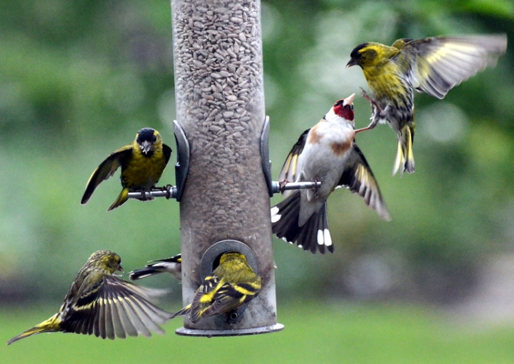 a siskin and goldfinch