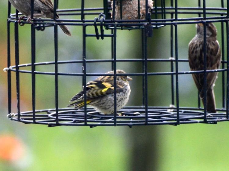 siskin in cage