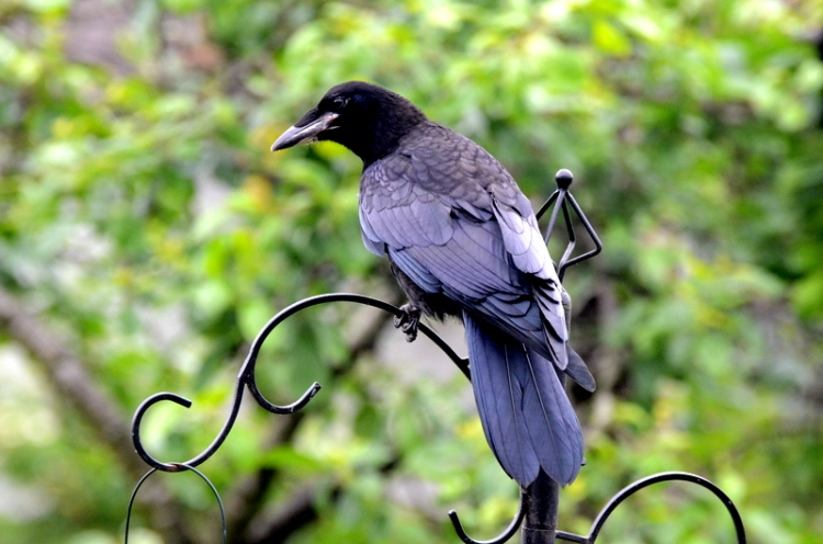 young rook