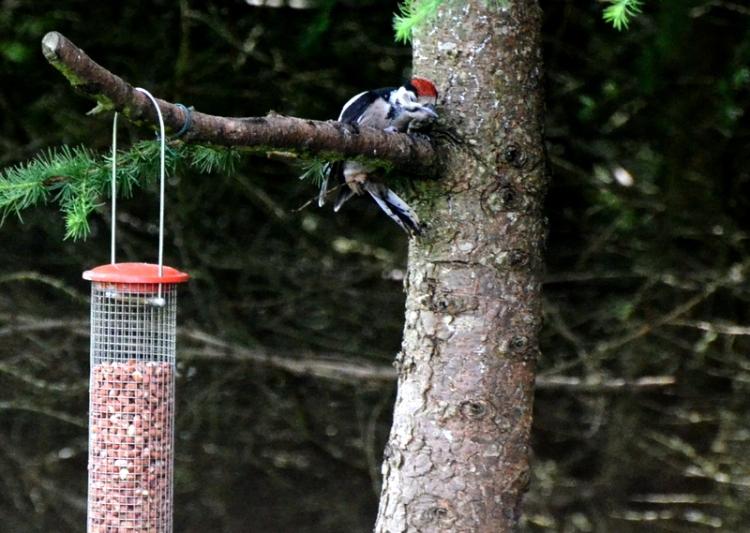 woodpecker perching