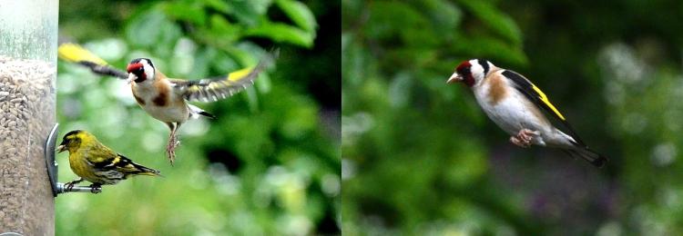 goldfinch flying