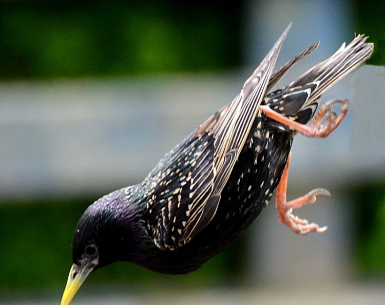 diving starling
