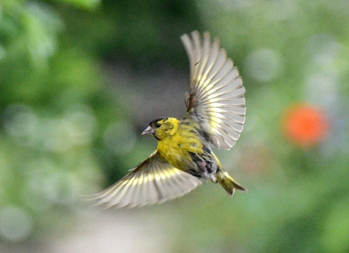 flying siskin