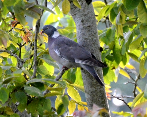 pigeon in walnut tree