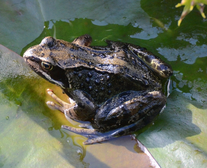 frog sunbathing