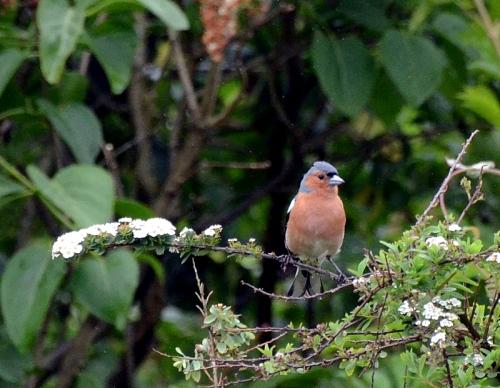 chaffinch on a spirea