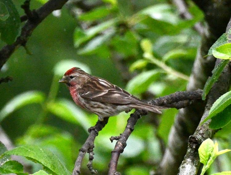 redpoll in plum tree