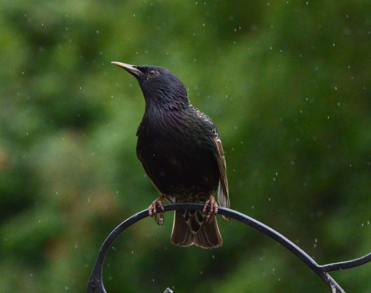 a starling